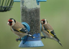 Goldfinches on the Willow Springs Feeder