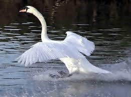 This Swan is a permanent river resident at Willow Springs